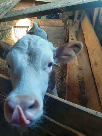 Sprzedam byczka simental pod krowę