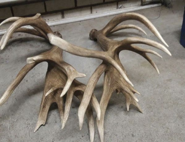 Poroze jelenia 9 kg 30-stak