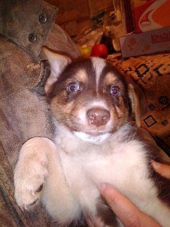 Красивый щенок кобель коричнево белого окраса