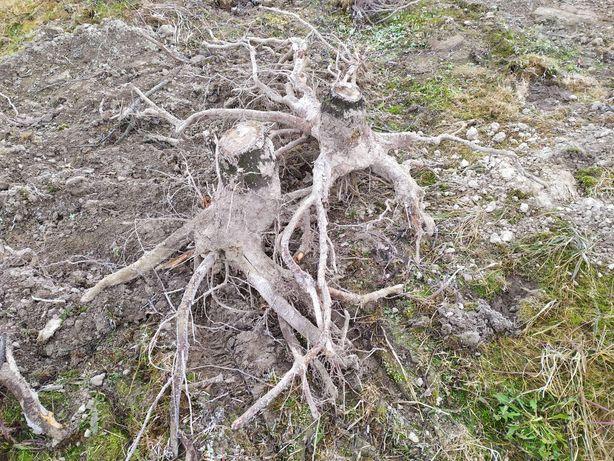 Oddam korzenie ok 500 sztuk likwidacja sadu wiśniowego