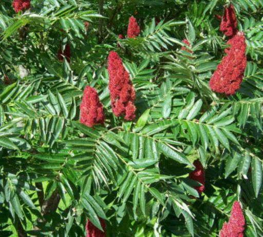 Сумах(уксусное дерево)