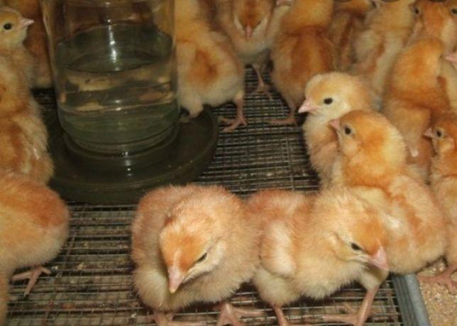 Продам курчат голошийка редбро мастер