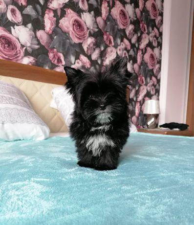 Yorkshire Terrier Black piesek 3 mce