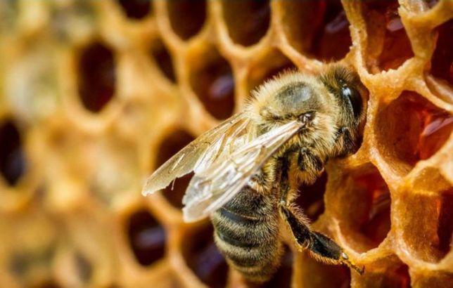 Бджоли українська степова