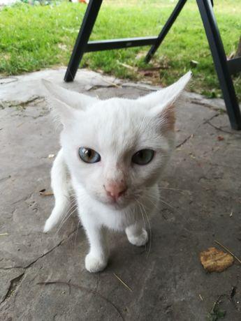 Белый котенок мальчик