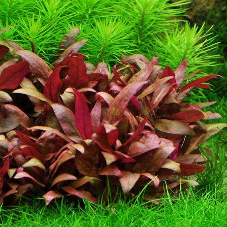 Alternathera reineckii rośliny akwariowe z przycinki