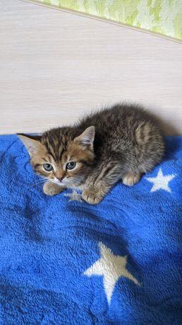 Вислоухие котята породы скоттиш-страйт