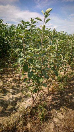 Drzewka owocowe DUO Kokosa Pomarańczowa + Malinowa Oberlandzka GK