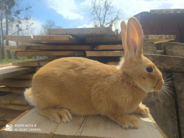 Продам кролі кролики бургундійці полтавське срібло