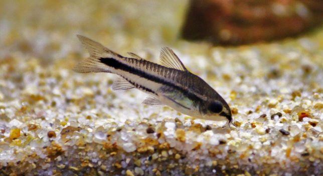 Kirysek Pigmej/kirys/corydoras/kiryski/rybki akwariowe