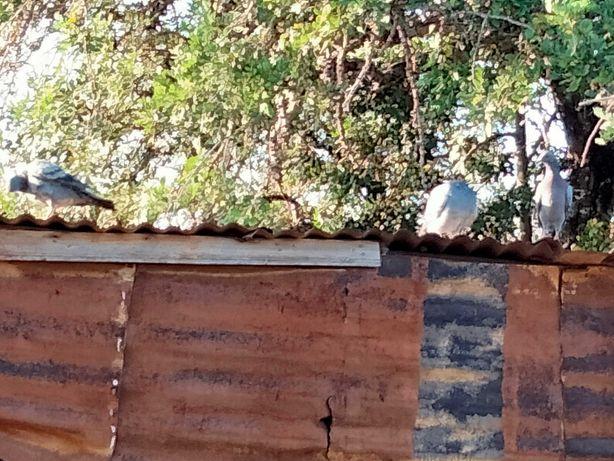 Vendo pombos caseiros mas criados ao ar livre.