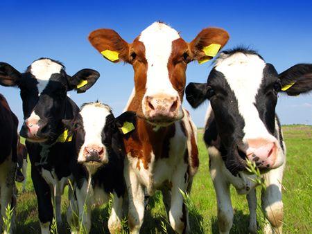 mleko dla cieląt od 5 dnia bez włókien bez biegunek bez problemów