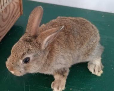 Крольчонок декоративный