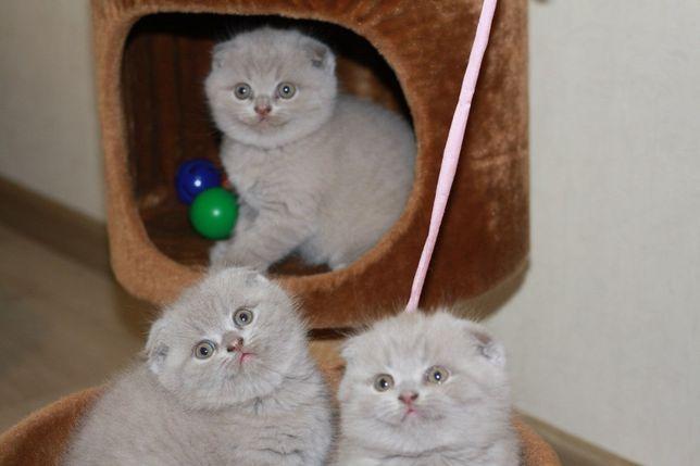 Бомбезные шотландские котята