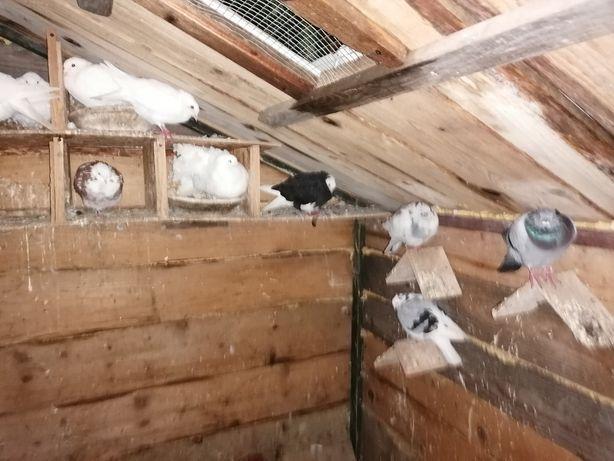 Gołębie ozdobne pawiki