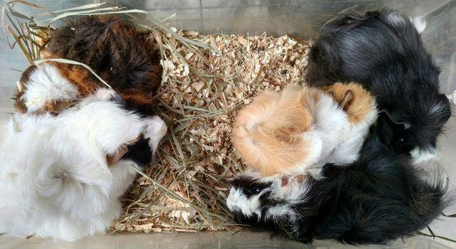 Милые перуанские свинки