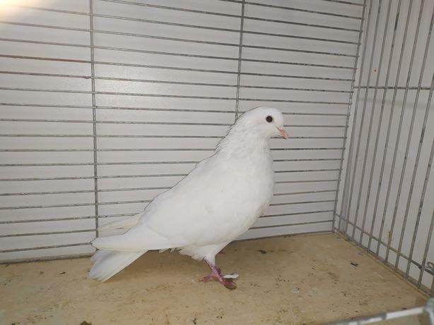 Kumru samiec biały