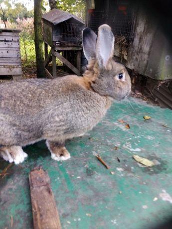 Sprzedam króliki samce i samice