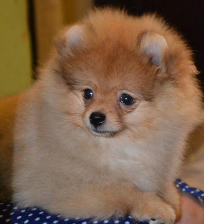 Продаётся щенок померанского шпица