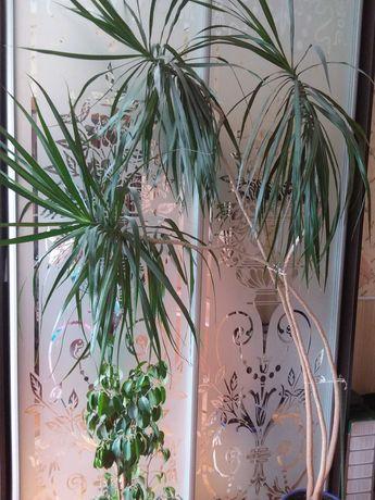 Растение Драцена, фикус.