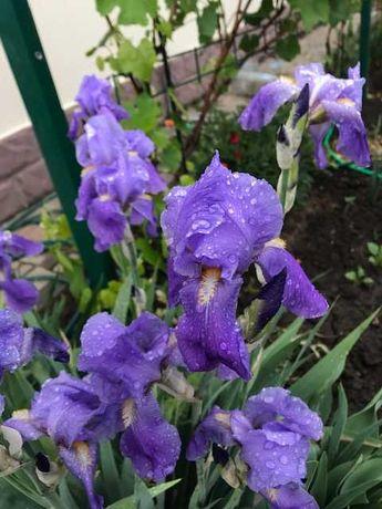 Подарю!Ирисы, покровник, сад.традесканция,чайная роза, Великодолинское
