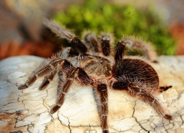 Самка паука птицееда для новичков Brachypelma albopilosum