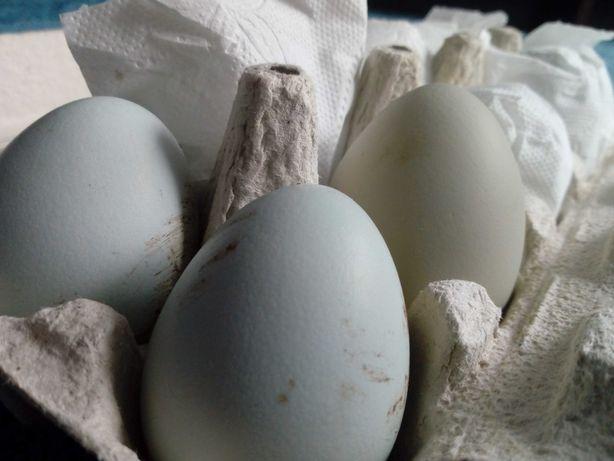 Jaja lęgowe od kur które znoszą niebieskie jajka