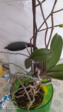 Дєтка орхідеї!             .