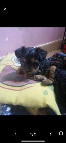 Yorkshire terrier femea