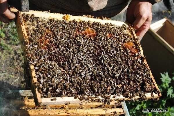 Пчелопакеты в Донецке