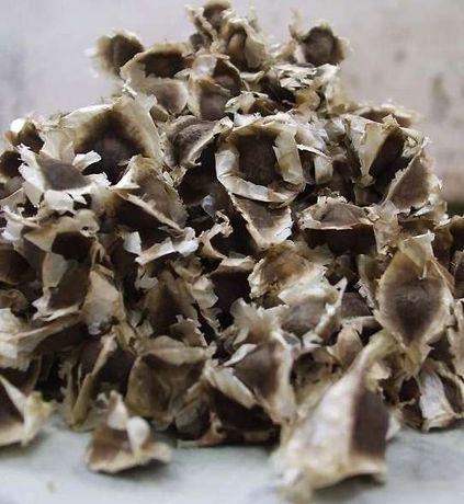 50 sementes moringa oleifera