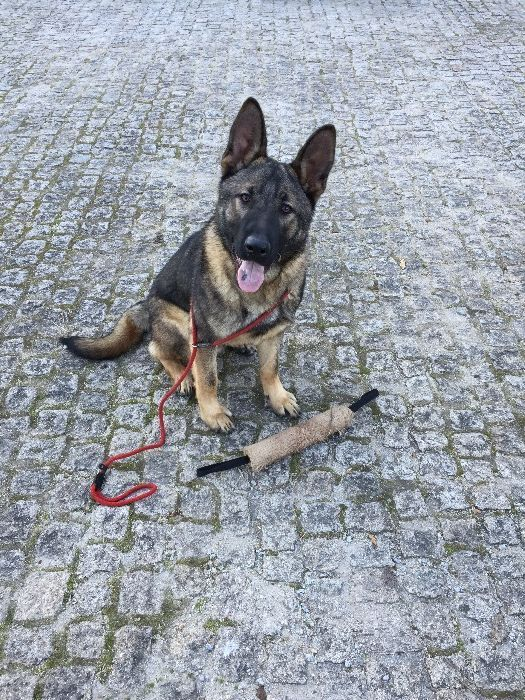 Treino Cães ao Domicílio (Possibilidade on-line via Watsapp)