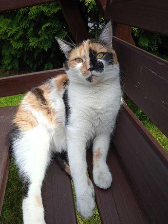 Zaginęła kotka tricolor w Środzie Wlkp.