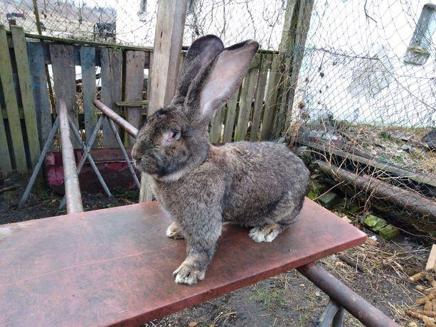 Wszystkie Rasy/Duży Wybór - Hodowla królików rasowych! Samce i Samice!