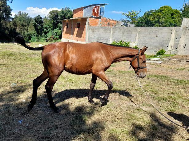 Vendo cavalo PSL  letra Q