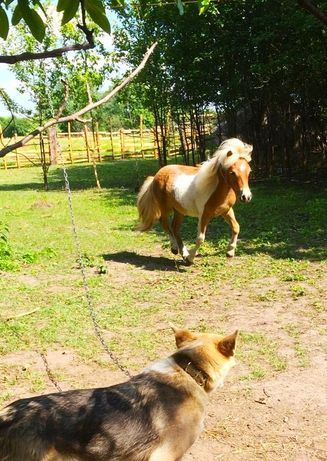 Шетландских пони