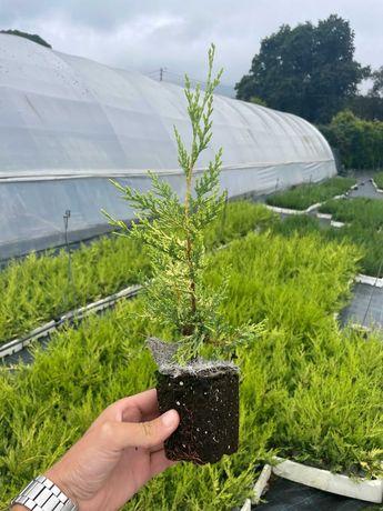 Aproveite Cedros Bom Preço! /Ciprestes/Sebe/Plantas/Árvores/Jardim
