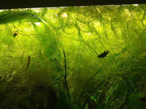 Rogatek roślina akwariow