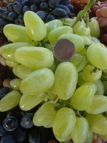 Саженцы. Виноград
