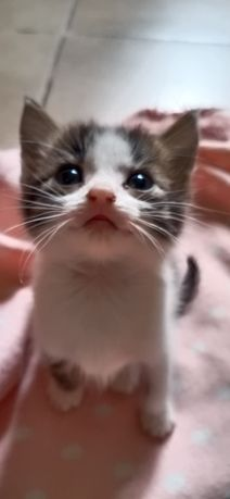 котята персы срочно отдаю