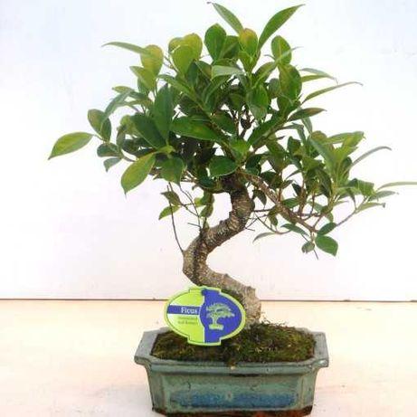 Aproveite Bonsais Bom Preço! / Plantas / Árvores / Jardim
