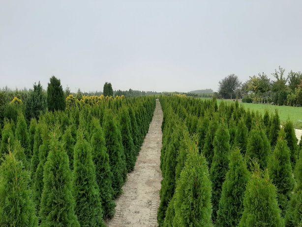 Żywotnik 'Smaragd' 200-225cm /tuja szmaragd thuja