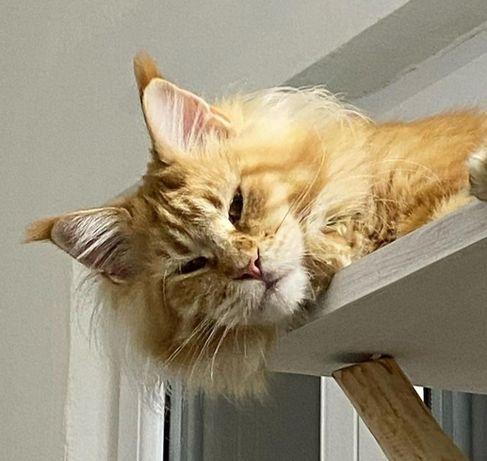 Котик мейн-кун на продажу