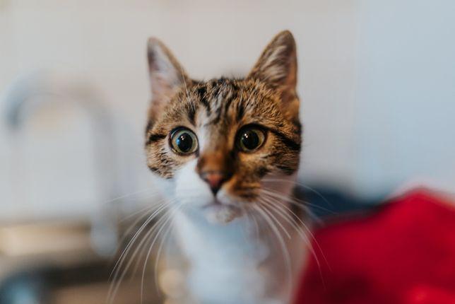 девочка Маша 1 год. привита. Котики, котята, кошечка, кот, котенок