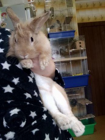 Кролик крыжий,ручний клолик,декоративный кролик