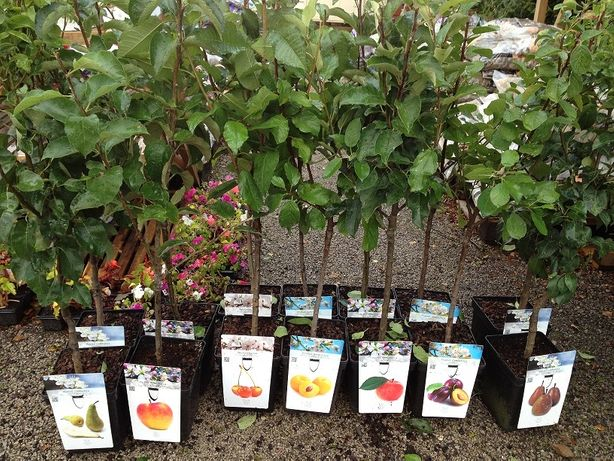 Саженци деревья и кусты, барбарис, хурма, голубика