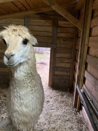 Samiec suri reproduktor alpaka