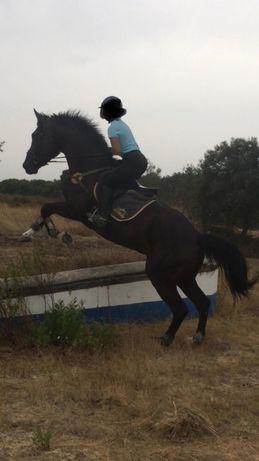 Cavalo KWPN Preto warmblood