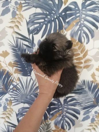 piesek szpic miniaturowy czarny sobolowy