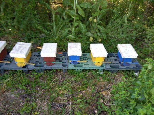 Matki pszczele z ulikami wrselnymi